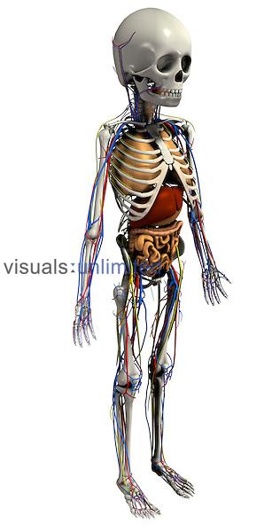 anatomy skeleton with organs