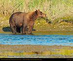 Alaskan Coastal Brown Bear, Male Crossing Creek at Sunset, Silver Salmon Creek, Lake Clark National Park, Alaska