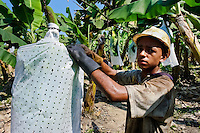 A young Colombian worker checking the plastic protection cover on the banana bunch on the banana plantation in Aracataca, Colombia, 14 March 2006. Eighty percent of the exported bananas in the world are grown in Latin America. Local farms have no other alternative than to sell for a price offered by the multinational company. When working conditions and ecology is in question, the corporations do not have any responsibility as they do not own plantations. Local governments in the attempt of organizing banana export provide low duty taxes on export, they try to eliminate social and enviromental politics to attract the big companies to their countries.