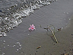 flower washed ashore on a sandy Lake Washington beach, with a retreating wave shown