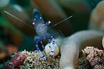Sarasvati anemone shrimp ( Periclimenes sarasvati ), Bunaken National Patk, Sulawesi, Indonesia