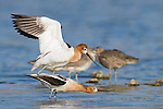 An american avocet male mounts a female from behind.  Here the male is slowly lowering himself for mating.