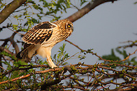Young Short-eared Owl perching on a tree, Bagerova Steppe, Kerch Peninsula, Crimea, Ukraine