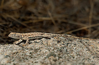 442690003 a wild western side-blotched lizard uta stansburiana elegans in the buttermilks near bishop owens valley inyo county california united states