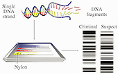 DNA Testing Results. This illustration shows how a single strand of DNA can be used as evidence in a criminal case.