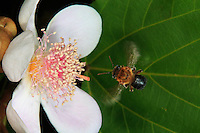 A Melipona melanoventerbee flying towards a flower of Bixa orellana. Pollination of the Amazonian flora is dependent on the stingless bee.