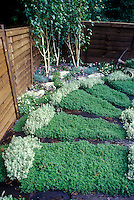 Thymus serphyllum coccineus creeping thyme steppable plants in the garden as lawn groundcover design, privacy fence, with Chamomile nobilis in bloom, birch Betula trees,