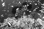 Anilao, Philippines;  a school of Scalefin Anthias (Pseudanthias squamipinnis) fish and a Moorish Idol (Zanclus cornutus) fish swimming over an underwater pinnacle covered in soft corals, sponges, crinoids and dark green Black Sun Coral (Tubastrea micrantha)