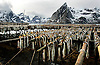 NORWAY LOFOTEN 29MAR07 - Stockfish racks in Hamnoy on the Lofoten islands.<br /> Photography by Jiri Rezac<br /> Tel 0044(0)208 944 6933<br /> www.linkphotographers.com