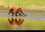 Alaskan Coastal Brown Bear, Old Scarred Male on Bank, Silver Salmon Creek, Lake Clark National Park, Alaska