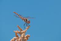 362800006 a wild male variegated meadowhawk dragonfly sympetrum corruptum perches on a small limb in pahranagat national wildlife refuge nevada united states