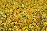 Crop of soybean plants, Lancaster, Pennsylvania, USA