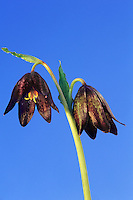 150830001 a stunning chocolate lily fritillaria lobifilia puts forth two blooms from its main stem in the santa monica mountains national recreation area in southern california