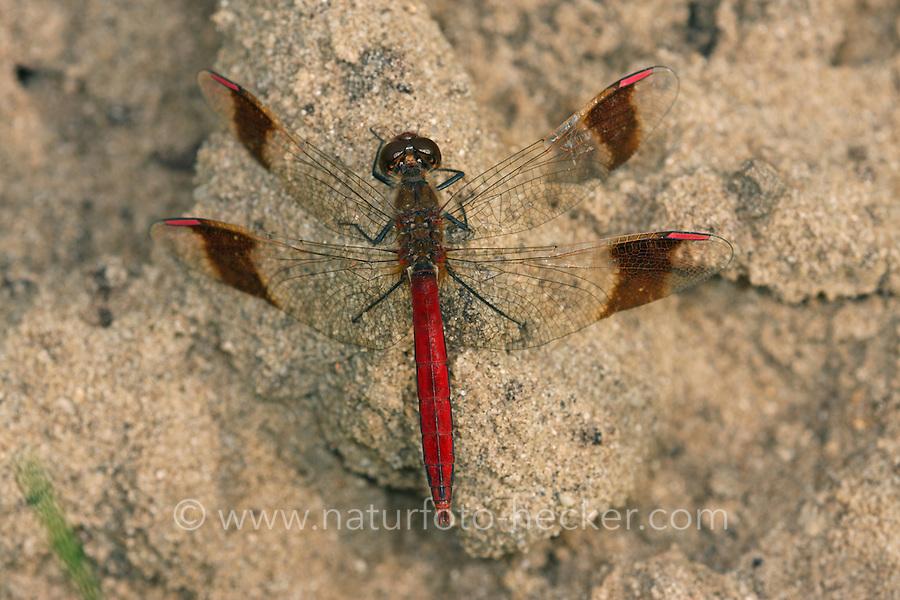 Gebänderte Heidelibelle, Männchen, Sympetrum pedemontanum, banded darter, male, Le Sympétrum du Piémont, Segellibellen, Libellulidae