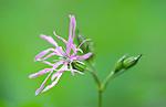 Ragged Robin, Lychnis flos-cuculi, UK, pink flower