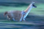 Guanaco and calf in motion
