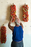 Farmer Ponsiello Giovanni hanging bunches of freshly harvested pomodorino piennolo del Vesuvio tomatoes on the wall for the winter season
