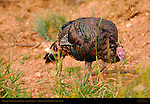 Merriam's Wild Turkey Foraging, Meleagris gallopavo merriami, Sunrise Point, Bryce Canyon National Park, Utah