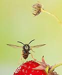 Norwegian Wasp, Vespula norvegica, In flight over strawberry fruit, free flying, High Speed Photographic Technique.United Kingdom....