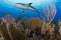 TH3901-D. Caribbean Reef Sharks (Carcharhinus perezi) swimming overtop healthy coral reef covered with Common Sea Fans (Gorgonia ventalina), sea rods and sea plumes in the Gardens of the Queen National Park, a no-take marine protected area showcasing some of the finest reefs in the Caribbean.  Cuba, Caribbean Sea.<br /> Photo Copyright &copy; Brandon Cole. All rights reserved worldwide.  www.brandoncole.com