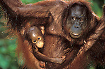 Orangutan (Pongo pygmaeus) female with baby, hanging between branches, Sepilok, Sabah, Borneo, tropical jungle.Indonesia....
