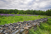 Lupine fields in Sugar Hill, New Hampshire USA during the spring months during the Annual Celebrationof LupinesFestival