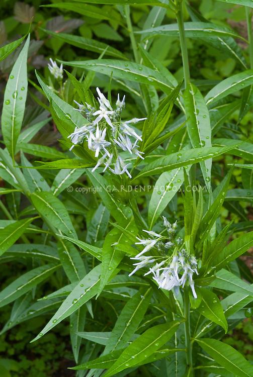 Amsonia tabernaemontana Grande (Giant Bluestar) I think this is Amsonia illustris