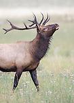 Elk<br /> Cervus elaphus<br /> Rocky Mountain National Park, Wyoming, USA