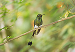 Male booted racket-tail, Ocreatus underwoodii, perched on a branch in Tandayapa Valley, Ecuador