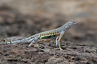 442880032 a wild male western zebra-tailed lizard callisaurus draconoides rhodostictus perches on a rock along fish slough road in mono county california