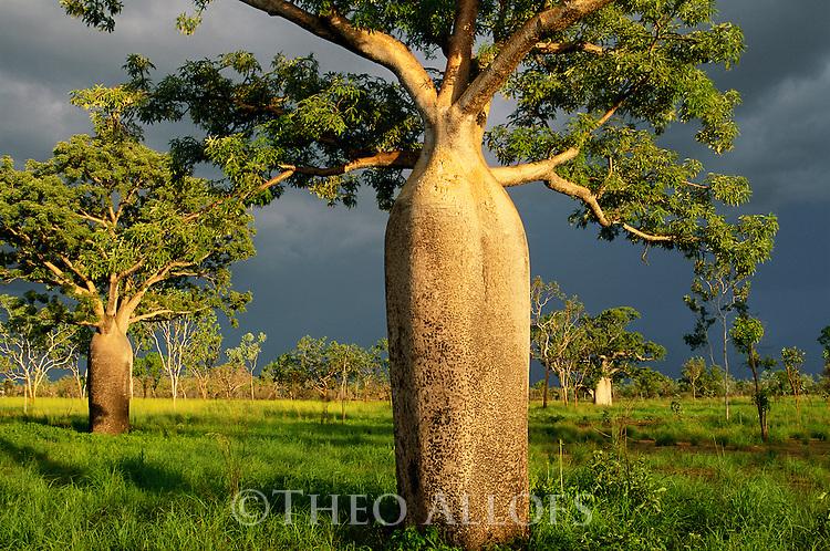 Australia, Western Australia,  Kimberley region, boab trees in meadow in dramatic light, blue-black sky, thunderstorm approaching