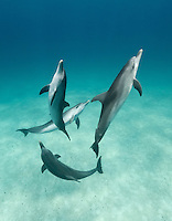 RW4476-Dv. Atlantic Spotted Dolphins (Stenella frontalis), intelligent and gregarious. Grow to 7.5 feet in length and 300 pounds, feed primarily at night on flying fish and squid. Bahamas, Atlantic Ocean. Cropped to vertical from native horizontal format.<br /> Photo Copyright &copy; Brandon Cole. All rights reserved worldwide.  www.brandoncole.com