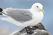 Black-legged kittiwake (Rissa tridactyla) Portrait. The Kittiwake is the most numerous of all gulls. Although not the biggest. They have an extensive range and spend thier time at sea when not breeding.