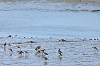Wading birds in mudflats by estuary in County Wexford, Southern Ireland