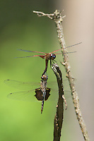 388550006 wild male and female red saddlebags dragonflies tramea onusta mating or in copula in angelina national forest jasper county texas