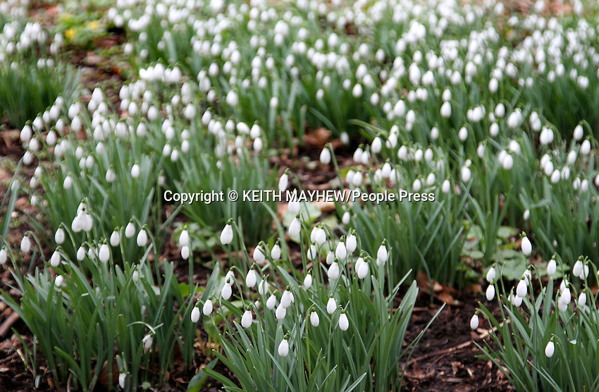 Spring must be coming as these images show, both Snowdrops out in full and the early blooming Daffodils brave the current freezing cold snap. .Pictured at the Open Day at Kings Arms Garden in Ampthill, Bedfordshire. part of the NGS - National Garden Scheme, Gardens Open for Charity. February 24th 2013..Photo by Keith Mayhew
