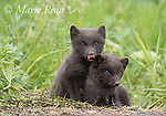 "Arctic fox (Vulpes lagopus), Pribilof race (""Blue Fox""), two sibling cubs sitting together, one sticking its tongue out, summer, St. Paul Island, Pribilofs, Alaska, USA"