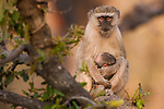 Vervet monkey and infant, Okavango Delta, Botswana