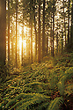 Sunlight streaming through Douglas Fir tree forest with ferns and ivy ground cover; Forest Park, Portland, Oregon.