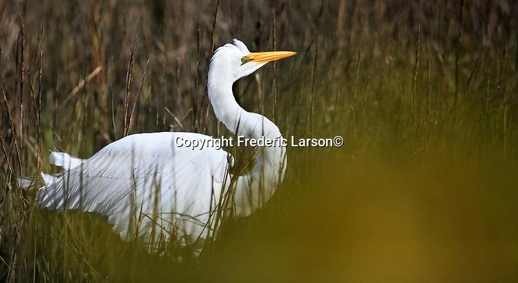 White egrets feed in a mosh near Richardson Bay in Sausalito California.