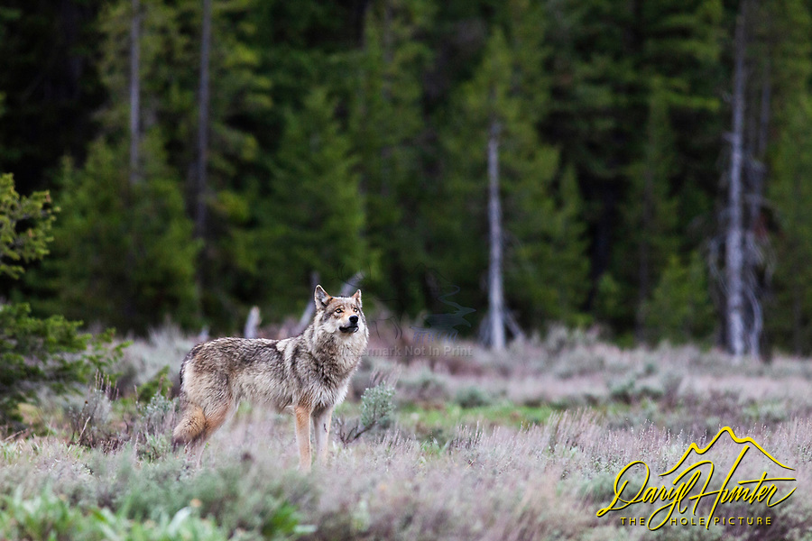 Alpha female grey wolf of the Pacific Creek Wolf pack that roams Grand Teton National Park