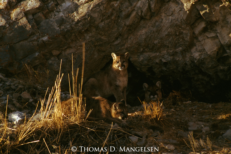 Mother mountain lion lying in den with two cubs sitting outside in the National Elk Refuge in Jackson Hole, Wy