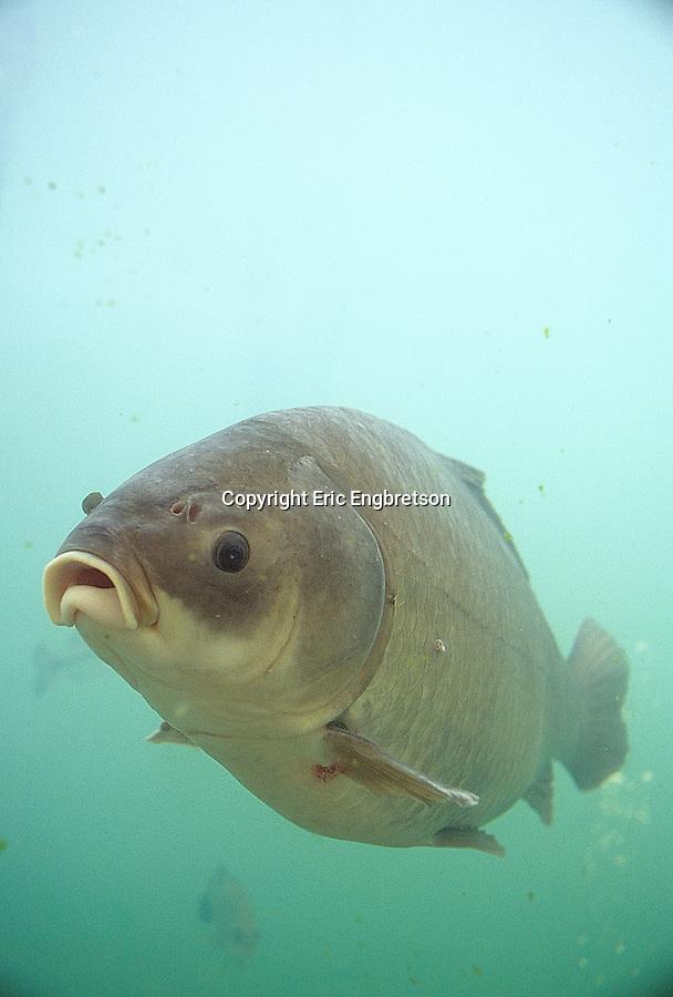 Bigmouth buffalo engbretson underwater photography for Buffalo fish taste