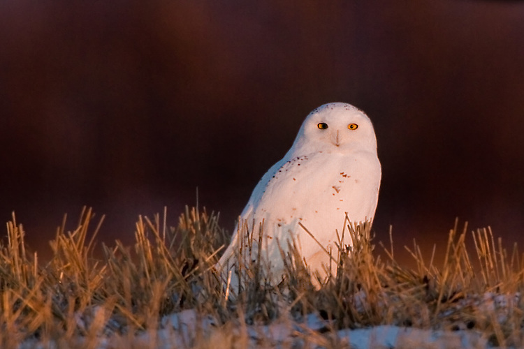Snowy Owl sitting on top of a hill during sunset ..2184x1456