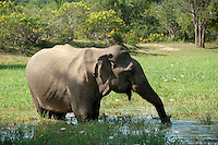 Elephant feeding at waterhole. Yala National Park.