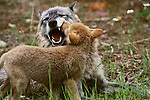 Gray wolf pup socializing with mother, Montana