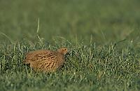 Grey Partridge, Perdix perdix,male, Fretterans, France, Europe