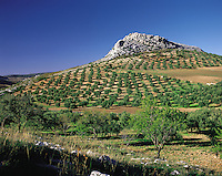 Neatly laid-out olive groves beneath a small rocky hill in the Serrania de Ronda, southern Spai