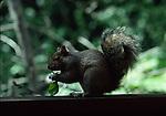gray squirrel eating rose leaf