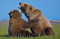 The smaller of two grizzly bears calms down its partner as they sit facing each other, Lake Clark National Park, Alaska.
